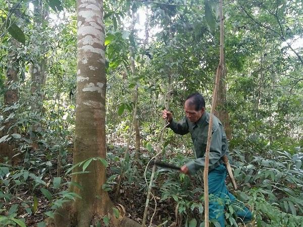 Hằng ngày ông thường lên rừng lim chặt những dây leo bám vào cây để cây không bị chẹt