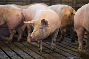 Giá heo (lợn) hơi hôm nay (19/10): Miền Nam tiếp tục đi xuống