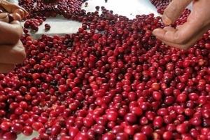 Giá cà phê hôm nay (11/10) quay đầu giảm, giá tiêu tăng 1.000 đồng/kg