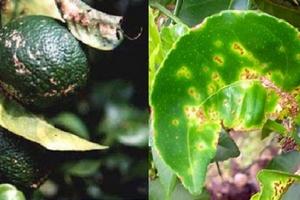 """""""Phác đồ điều trị"""" bệnh ghẻ nhám hiệu quả trên cây có múi"""