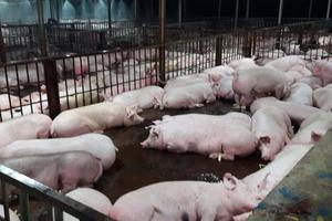 Dịch lợn quét qua, người dân nghiêng ngả