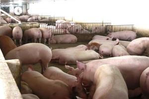 Liên tục tăng cao, giá thịt lợn vọt lên mức kỷ lục