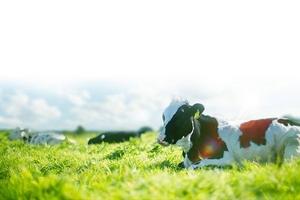 Mộc Châu Milk phát triển chăn nuôi gắn với bảo vệ môi trường