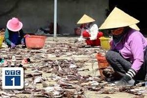 """Quang Ngãi: Ngư dân """"khốn đốn"""" vì hàng ngàn tấn mực ế"""