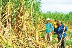 Ngành mía đường Việt yếu do quản lý hay công nghệ?