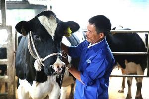 """Những """"đại gia"""" chăn bò ở Nông trường Mộc Châu"""