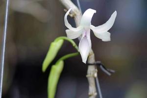 Giò lan giã hạc 3 cọng nở 1 bông hoa bé tý bán giá 1,1 tỷ