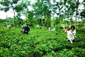Huyện Ba Vì, TP. Hà Nội: Chè Ba Trại - Điểm sáng trong phát triển kinh tế