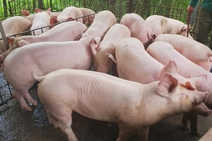 Giá heo (lợn) hơi hôm nay (26/8): Tăng nhẹ ở miền Nam