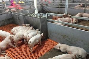 Giá heo (lợn) hơi hôm nay (1/1): Hai miền Bắc Nam giảm 2.000 đồng/kg