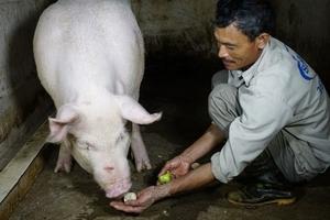 """Kì lạ ngôi làng """"quí lợn khác thường"""", ngày ăn cháo trắng tối ngủ mắc màn"""