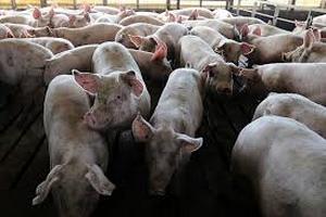 """Giải pháp nào cho những hộ dân chịu """"bão"""" dịch tả lợn?"""