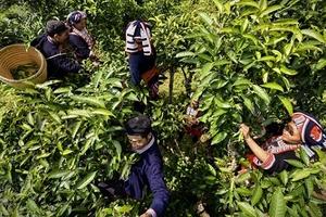 Hà Giang: Chè Shan tuyết được cấp giấy chứng nhận chỉ dẫn địa lý