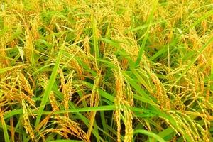Nam Định: Đánh giá hiệu quả của phân bón Apromaco cho cây lúa nếp