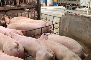 Cẩn trọng tái đàn lợn