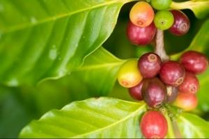 Giá cà phê hôm nay (24/9) tăng nhẹ, giá tiêu tiếp tục đi ngang