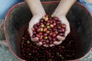 Giá cà phê hôm nay (20/8) đi ngang, giá tiêu lao dốc