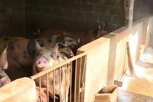 Có nên tẩy chay thịt lợn khi dịch tả lợn châu Phi đang hoành hành?