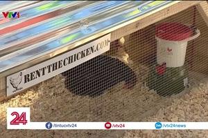Độc đáo dịch vụ cho thuê gà đẻ trứng tận nhà