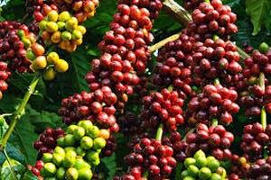 Truy xuất nguồn gốc cà phê qua mã vùng