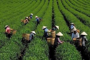 Xuất khẩu chè Việt Nam tăng mạnh cả lượng và giá trị