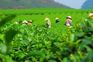 Xuất khẩu chè của Việt Nam tăng 14% so với cùng kỳ