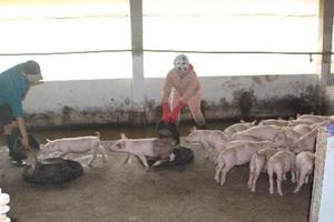 Đà Nẵng: Khẩn trương phòng,chống dịch tả lợn châu Phi