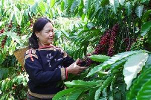 Đắk Lắk đảm bảo tỷ lệ cà phê chín khi thu hoạch