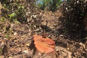 Quảng Bình: Rừng phòng hộ Quảng Trạch bị tàn phá ngang nhiên
