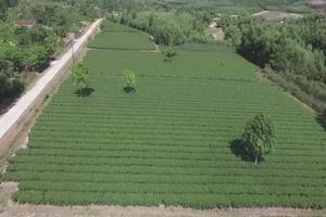 Hà Tĩnh: Xây dựng thương hiệu cho cây chè Kỳ Trung phát triển bền vững