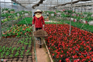 Giá hoa giảm, dân vẫn dự kiến thu tiền tỉ dịp giáp Tết
