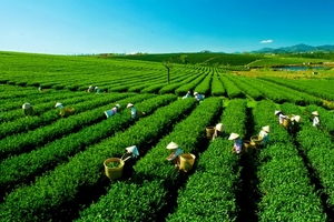 Sản phẩm chè Hà Tĩnh: Sản xuất an toàn và phát triển bền vững