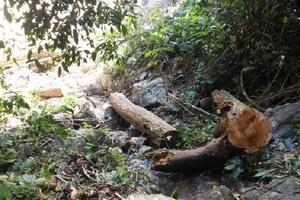 Lâm tặc chặt hạ gỗ trong khu bảo tồn thiên nhiên ở Huế