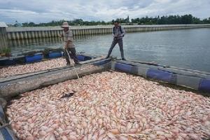 Dân khóc nghẹn nhìn 60 tấn cá nuôi chết trắng bè tại Đà Nẵng