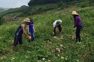 Hàng loạt nông dân Sơn La kêu cứu vì bí đỏ thối rữa do giá rớt thê thảm