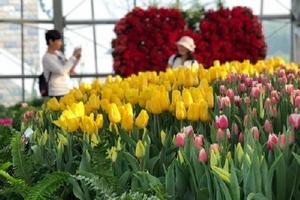 Ra mắt lễ hội Tulip lớn nhất Việt Nam tại Vinpearl Nha Trang