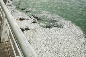 Cá lại chết hàng loạt nổi trắng Hồ Tây, bốc mùi hôi thối nồng nặc