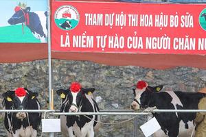 """Tháng 10 rủ nhau lên Mộc Châu xem bò sữa """"nô nức"""" đi thi hoa hậu"""