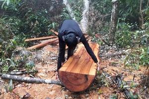 Quảng Bình: Bị lâm tặc tàn phá, rừng phòng hộ Minh Hóa kêu cứu!