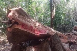 Lâm tặc ngày đêm 'xẻ thịt' Vườn Quốc gia Cúc Phương, chống trả quyết liệt khi bị phát hiện