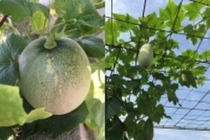 Sân thượng 60m2 bội thu rau quả sạch đáng nể của cô y tá trẻ
