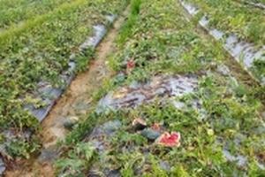 Cả nghìn quả dưa hấu gần đến vụ thu hoạch bị kẻ gian đập nát trong đêm