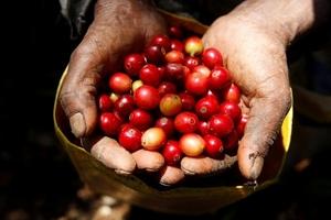 Giá cà phê hôm nay (18/7) giảm nhẹ bất chấp thời tiết Brazil lạnh hơn