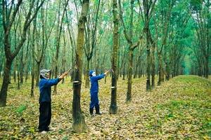 Cao su Kon Tum đạt 50% sản lượng kế hoạch năm