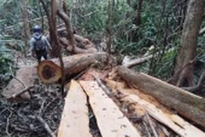 Rừng bị 'xẻ thịt' ở Đắk Lắk: Lâm tặc hoạt động như chốn không người