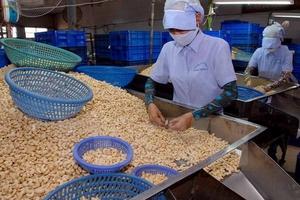 Về Việt Nam, hạt điều phải 'lượn' 3 lần đường mới đến được doanh nghiệp