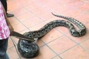 Hốt hoảng phát hiện con trăn dài hơn 2m treo lủng lẳng trước nhà