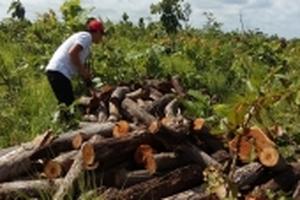 Đắk Lắk: Rừng bị phá tan hoang, chính quyền không hề biết?