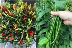 Tận dụng 3m2 sân thượng, mẹ Việt ở Nhật trồng đủ loại rau quả cho cả nhà