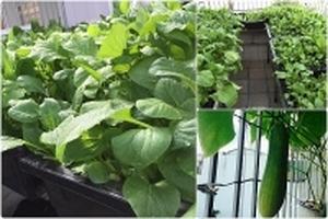 Sân thượng 24m2 trồng rau sạch như tấm thảm xanh mướt mắt của ông bố đảm Sài Thành